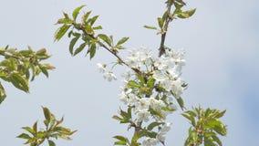 Cherry Flowers On White Cloud banque de vidéos