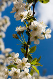 Cherry flowers. White cherry flowers in the home garden Royalty Free Stock Photography