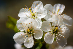 Cherry flowers. White cherry flowers in the home garden Royalty Free Stock Photos