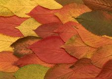 Cherry foliage Royalty Free Stock Images