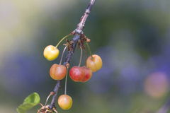 Cherry. Fresh cherry fruits on a tree Royalty Free Stock Photo