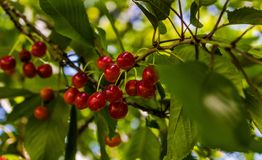 Cherry, Fruit, Berry, Plant stock images
