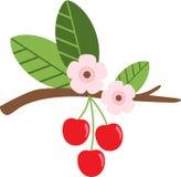 Cherry Fruit Blossom Stock Image