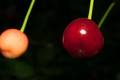 A cherry fruit is dark red on a dark background with green leaves. Macro. A cherry fruit is dark red on a dark background with green leaves. Macro Stock Image