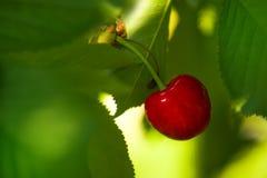Cherry Fruit dolce sul Bracnh Immagine Stock