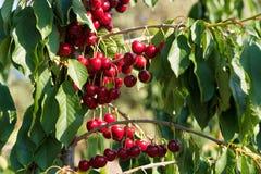 Cherry fruit in the garden of Tarragona, Spain. Cherry fruit in the garden of Tarragona, Spain stock photos