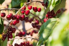 Cherry fruit in the garden of Tarragona, Spain. Cherry fruit in the garden of Tarragona, Spain royalty free stock images