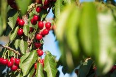 Cherry fruit in the garden of Tarragona, Spain. Cherry fruit in the garden of Tarragona, Spain royalty free stock photography