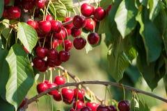 Cherry fruit in the garden of Tarragona, Spain. Close-up. Cherry fruit in the garden of Tarragona, Spain. Close-up stock image