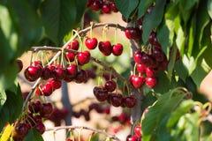 Cherry fruit in the garden of Tarragona, Spain. Close-up. Cherry fruit in the garden of Tarragona, Spain. Close-up stock photography