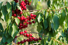 Cherry fruit in the garden of Tarragona, Spain. Close-up. Cherry fruit in the garden of Tarragona, Spain. Close-up stock images