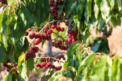 Cherry fruit in the garden of Tarragona, Spain. Close-up. Cherry fruit in the garden of Tarragona, Spain. Close-up royalty free stock image