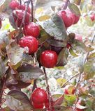Cherry. The fruit of hunger after the summer rain royalty free stock photography