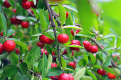 Cherry. A cherry is the fruit of many plants of the genus Prunus, and is a fleshy drupe stone fruit Stock Images