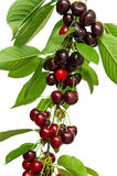 Cherry fruit. Red cherry fruits on stem Stock Image