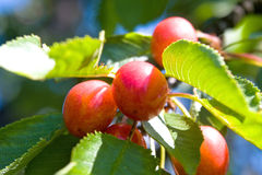 Cherry fruit tree Stock Images