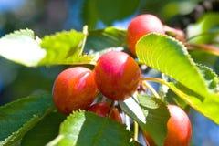 Cherry fruit tree. A cherries at the cherry fruit tree macro sunlight stock images