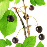 Cherry fruit on tree. Fresh cherry fruit on tree in white background Royalty Free Stock Photo
