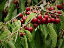 Cherry Fruits In The Tree. Cherry fruit tree in a sunny day at New Zealand. During summer every year cherries can be widely found in New Zealand. Cherries grows Stock Photo