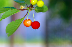 Cherry fruite Royalty Free Stock Photography
