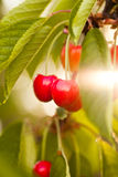 Cherry fruits Royalty Free Stock Photos