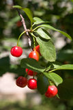 Cherry fruits Stock Photo