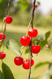 Cherry fruits Royalty Free Stock Image