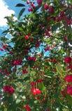 Cherry. Fruits, nature, garden, tree royalty free stock photos