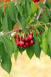 Cherry fruits in the tree Royalty Free Stock Photos