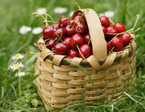 Cherry-full basket. Handbasket full with ripe red cherries Royalty Free Stock Photography