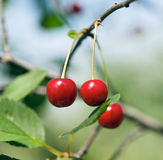 Cherry in the garden Stock Photography