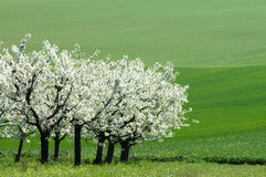 Cherry garden. Blossoming cherry Royalty Free Stock Photography