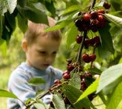 Cherry Garden Stock Photo