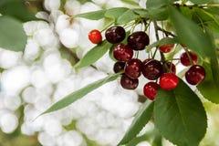 Cherry in a garden stock photo