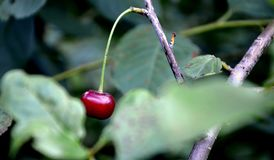 Cherry in the garden.organic food. One berry cherry on the tree in the summer garden.organic food. summer time, green Stock Images