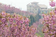 Cherry garden Royalty Free Stock Image