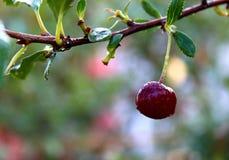 Cherry in the garden stock photos