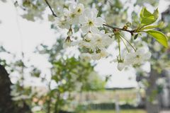 Cherry garden. Spring blossom background - abstract floral border of green leaves and white flowers. Flower on a tree stock photography