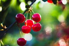Cherry in the garden. Summer juicy sweet cherry in the garden Stock Photo