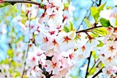 cherry gałęziasta Obrazy Royalty Free