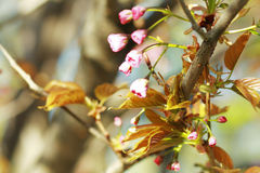 Cherry going to bloom. Branch of cherry going to start bloom blossom with blue sky in background Royalty Free Stock Image