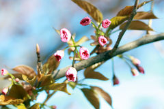 Cherry going to bloom. Branch of cherry going to start bloom blossom with blue sky in background Royalty Free Stock Photography