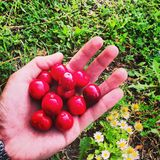 Cherry grass hand nature flowers. Cherry in the hand Royalty Free Stock Photos
