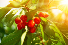 Cherry on a green branch in sunlight Royalty Free Stock Photo