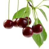 Cherry with green leaves. Royalty Free Stock Images