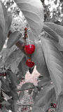 Cherry on grey background Royalty Free Stock Photo