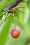 Cherry growing on the cherry tree Stock Images