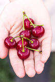 Cherry is in the hand Royalty Free Stock Image