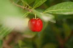 The cherry is hanging on the fruit tree Stock Photography