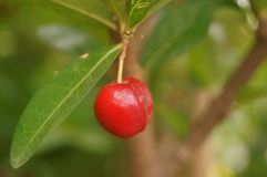 The cherry is hanging on the fruit tree Royalty Free Stock Photo